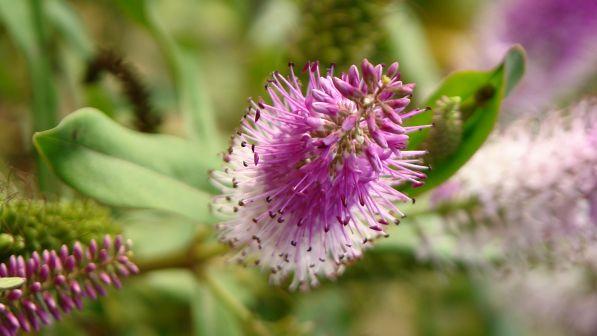 Diomedous Botanical Gardens purple flower