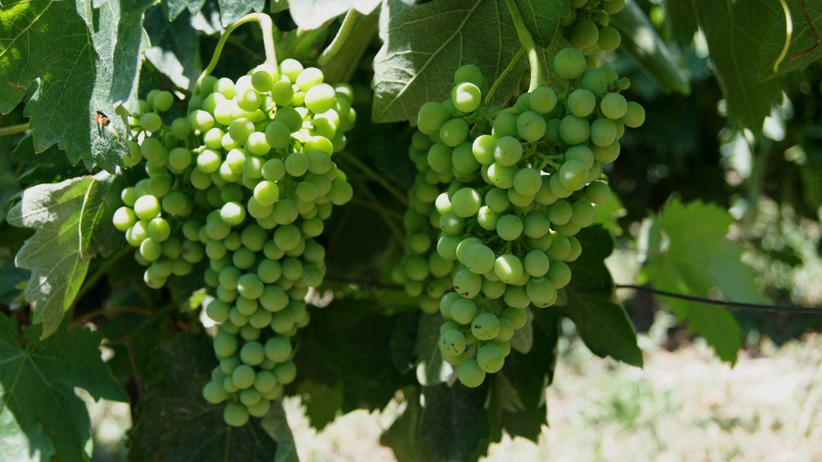 Savvatiano, variety, grapes, wine