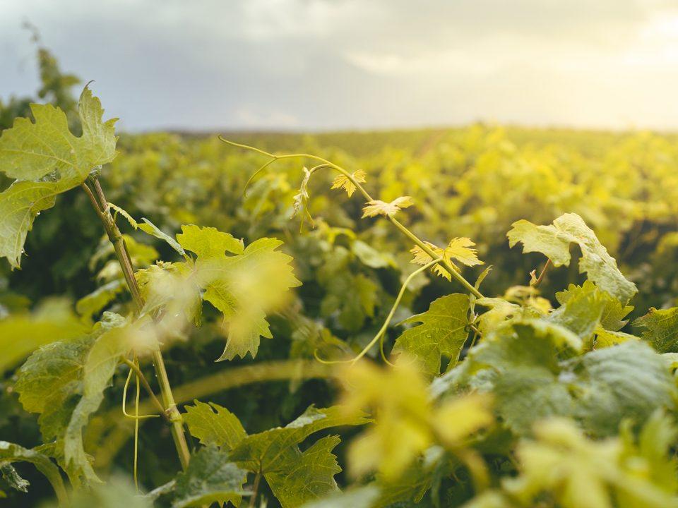 Grapes, Harvest, Wine